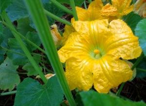 Male Squash Blossom