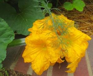squash blossoms & dill