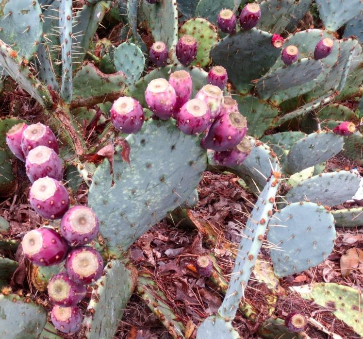 cactus apples 12