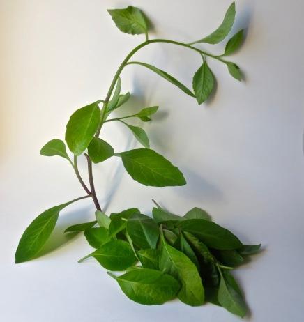 longevity spinach 1