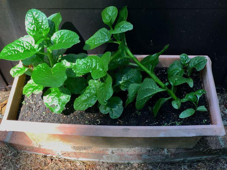 malabar spinach.jpg