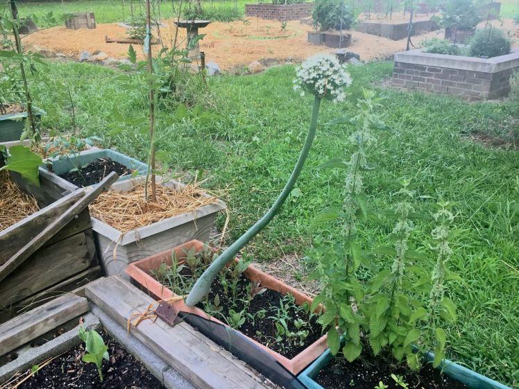 Onion flower stems